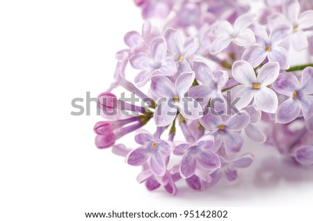 The beautiful lilac isolated on white background - stock photo