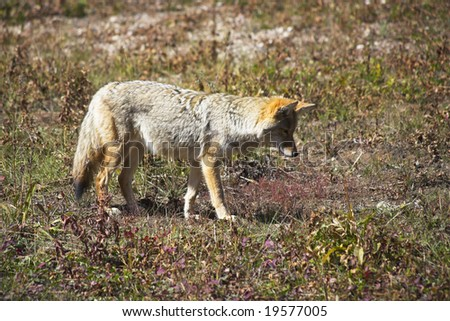 The beautiful meadow wolf in Yellowstone national park