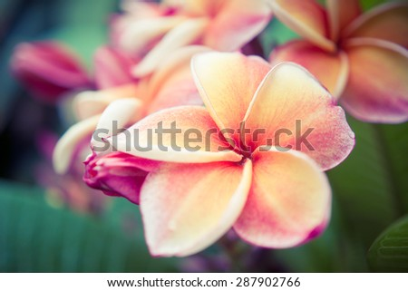 The beautiful Plumeria flowers close up in vintage colour tone background. - stock photo