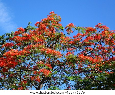 The beautiful red blossoms of the Flame Tree (Delonix Regia) seen against a blue sky