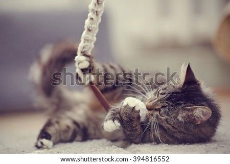 The beautiful striped domestic cat plays with a toy. - stock photo