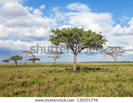 The beautiful trees in Serengeti National Park -Tanzania, East Africa - stock photo