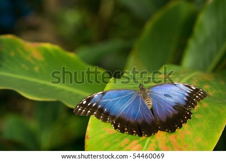 the beautiful tropical butterfly sitting on leaf - stock photo