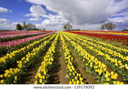 The beautiful Tulip Fields of Oregon
