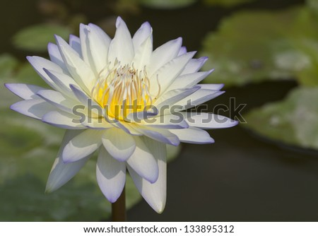 The beautiful violet-white lotus