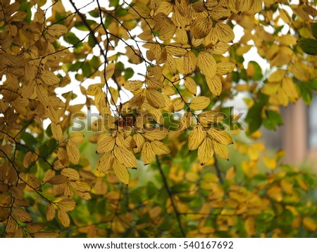 The beautiful yellow autumn leaves in the garden