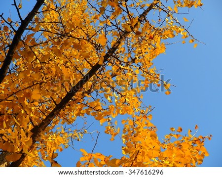 The beautiful yellow trees in the warm fall sunny day