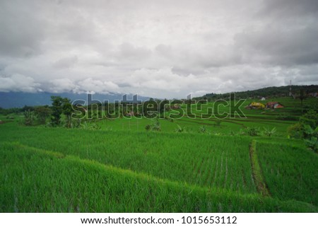 the beauty of the rice fields in the overcast morning