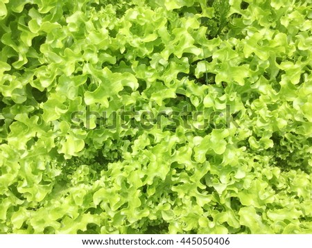 The beds of lettuce salad in garden - stock photo