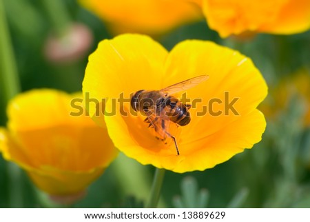 The bee collects nectar on a yellow flower