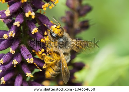 The bee covered with yellow pollen, collects nectar on a violet flower. Macro shooting