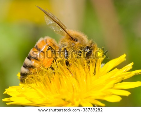 the bee is working on dandelion flower