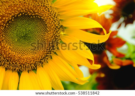 The bee sitting on sunflower. Selective and Soft focus with Sun rise flare effect.