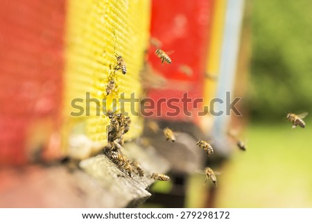 The bee was sipping the nectar and returning to beehive. Bees collects honey. Beehives on the meadow. - stock photo