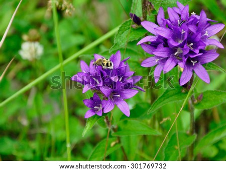 The beetle on the purple flower  - stock photo