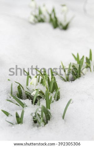 The beginning of spring. Spring flowers under the cover of the last snow. Snowdrops are among the snow. Starting a new life. Change of seasons. - stock photo
