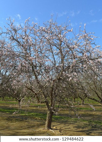 The beginning of spring weather starts trees blossoming in a Central California almond orchard