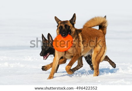 the Belgian shepherds plays with a disk frisbee on a snow field