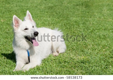 THE BERGER BLANC SUISSE IS A BREED OF DOG FROM SWITZERLAND IT IS OF THE SAME ORIGINS AS THE WHITE SHEPHERD DOG AND THE GERMAN SHEPHERD DOG