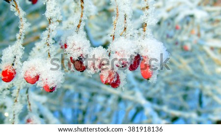 The berries of barberry covered with snow in a frosty day/Barberry under the snow/Ripe red barberry berries powdered with a snow - stock photo
