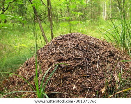 The big ant hill in coniferous wood, anthill - stock photo