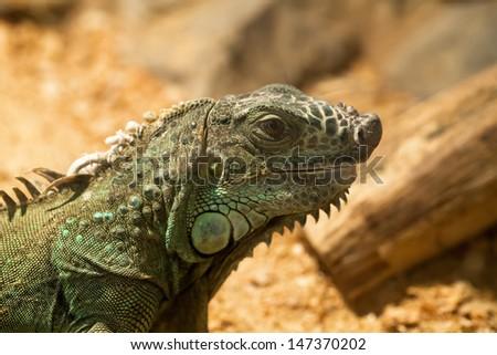The big green lizard on wood background closeup - stock photo