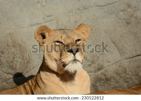 The big Lion King - stock photo