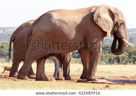 The BIG One - The African bush elephant is the larger of the two species of African elephant. Both it and the African forest elephant have in the past been classified as a single species.