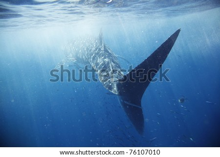 The biggest fish in the world, surrounded by huge school of other different fish. - stock photo