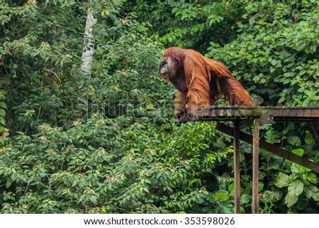 The Biggest Orangutan in Borneo - stock photo