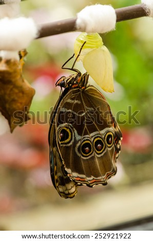 The birth of a butterfly from pupa close-up on a bright background, macro - stock photo