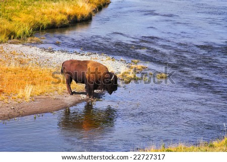The bison drinks water in well-known Yellowstone national park - stock photo
