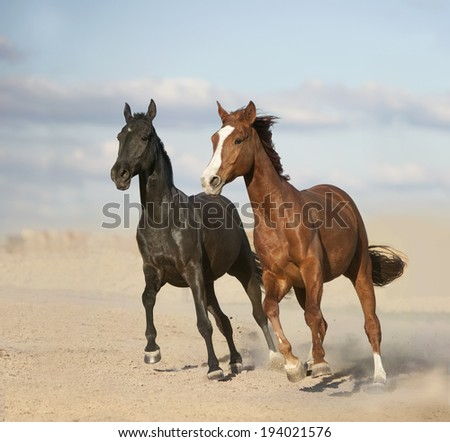 The Black and chestnut horses in desert - stock photo