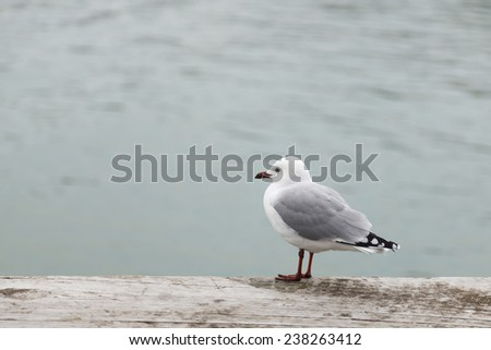 The black-billed gull (Chroicocephalus bulleri), also known as Buller's gull, is a species of gull in the Laridae family. It is found only in New Zealand. - stock photo