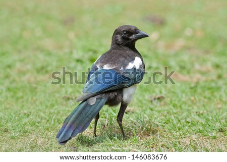 The Black-billed Magpie (Pica hudsonia)) on Grass