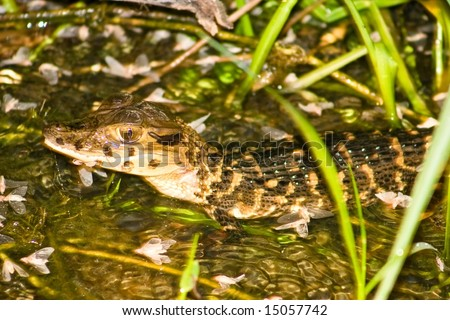 The Black Caiman (Melanosuchus niger) is a crocodilian. It is a carnivorous reptile that lives along slow-moving rivers and lakes, in the seasonally flooded savannas of the Amazon basin - stock photo
