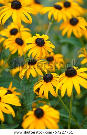 The black-eyed susan is a common wild flower that grows in warm summer months. - stock photo
