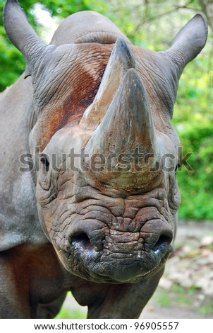 The black rhinoceros or hook-lipped rhinoceros (Diceros bicornis), is a species of rhinoceros, native to the eastern and central areas of Africa - stock photo