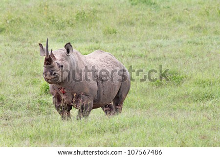 The Black Rhinoceros or Hook-lipped Rhinoceros (Diceros bicornis) is the most endangered animal in Africa.  Seen here after a BLOODY fight in the wild at Lake Nakuru, Kenya, Africa. - stock photo