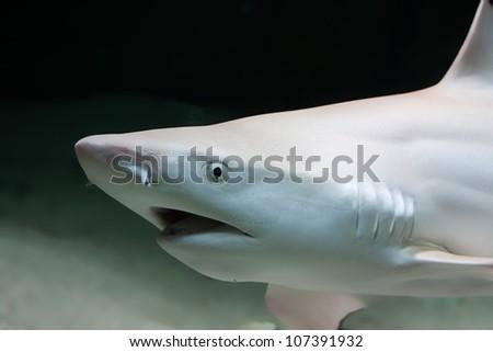 The black tip reef shark, Carcharhinus melanopterus - stock photo