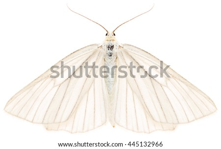 The black-veined moth Siona lineata beautiful butterfly isolated on white background, dorsal view