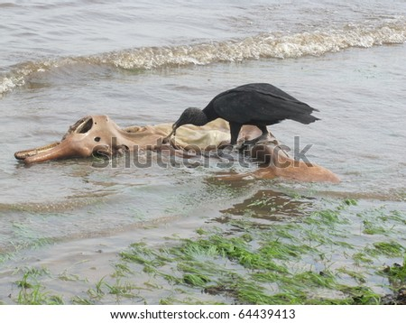 The Black Vulture, Coragyps atratus, also known as the American Black Vulture, is a bird in the New World vulture family whose range extends from the southeastern United States to  South America. - stock photo