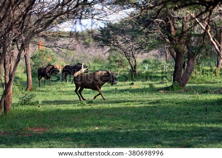 The black wildebeest or white-tailed gnu (Connochaetes gnou) in the green forest. Namibia, Africa