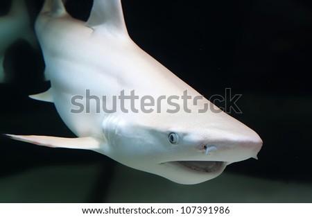 The blacktip reef shark, Carcharhinus melanopterus - stock photo