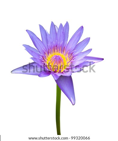 The blooming blue lotus on white background - stock photo