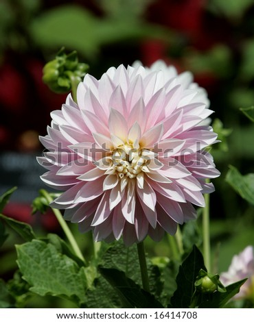 The blooming Dahlia Flower also known as Alloway Candy - stock photo