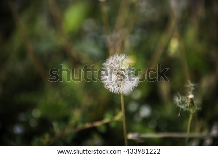 The blossom dandelion in the outdoor nature.