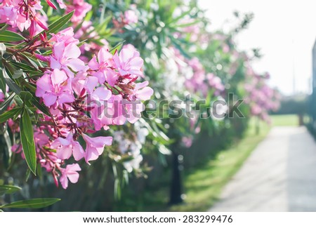The Blossoming Bush in the Pink Flowers along the road. Spring landscape - stock photo