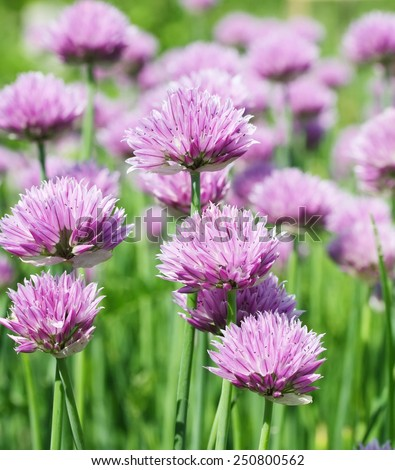 The blossoming glade of light violet flowers in the sunny day - stock photo