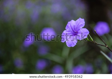 The blossoming ruellia brittoniana flowers closeup